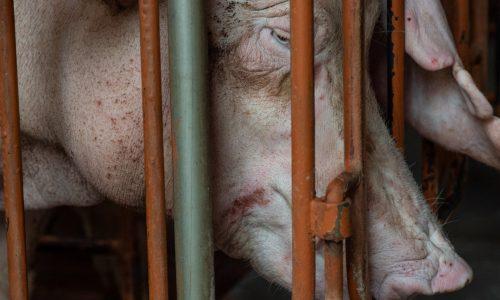 A pig in a newly built industrial farm. Taiwan, 2019.